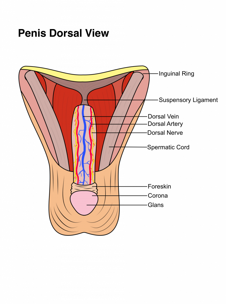 Everything You Need To Know About Male Penile Anatomy
